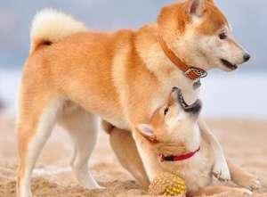 了解秋田犬的优点与缺点
